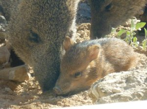 baby javelina in Arizona