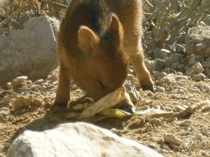 young javelina playing
