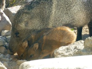 collard peccary with pig like babies