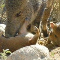 New baby Javelinas - pig like desert animals