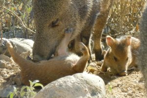 arizona wild pigs - collard peccary