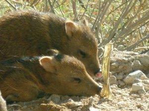 baby desert wild pig javelinas