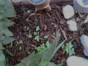 baby salvia seedlings