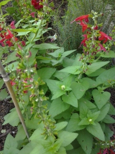 drought tolerant red salvia