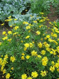 Euryops bush with yellow daisy flowers