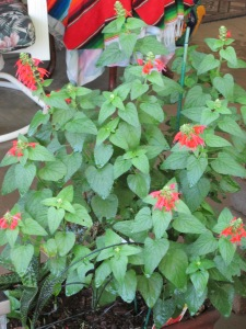 red salvia in Arizona