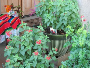 Arizona red salvia in a pot