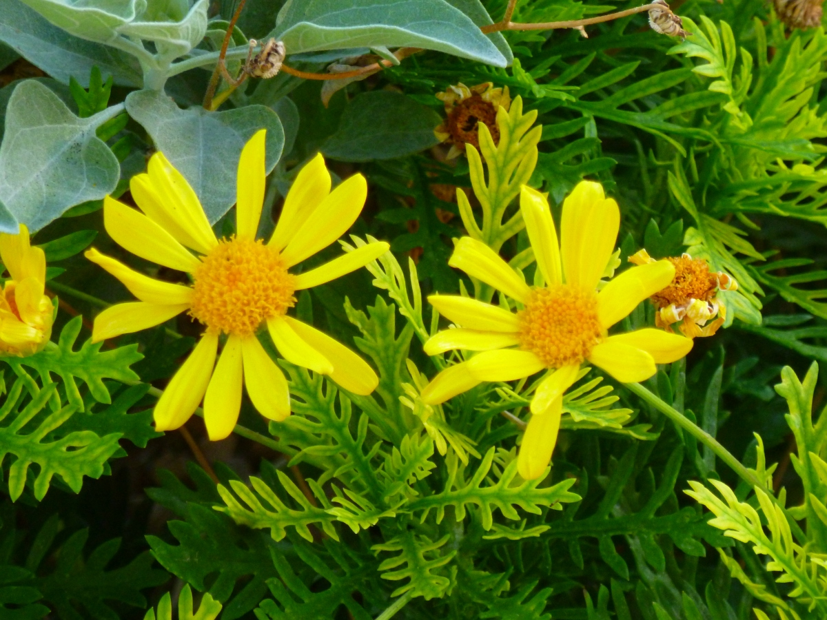 The daisy-like bush, Euryops are # 4 – top Ten Heat Resistant plants our Arizona garden