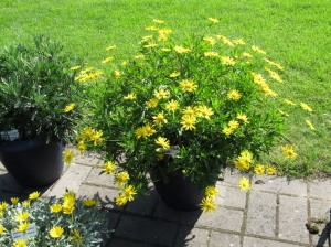 daisy flowering plants in containers