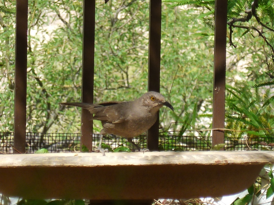 bird that bounces around and pounds the ground