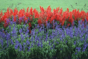 colors of salvia heat resistant plants