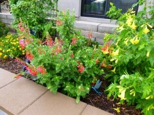 heat tolerant plant salvia