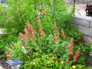 red salvia darci