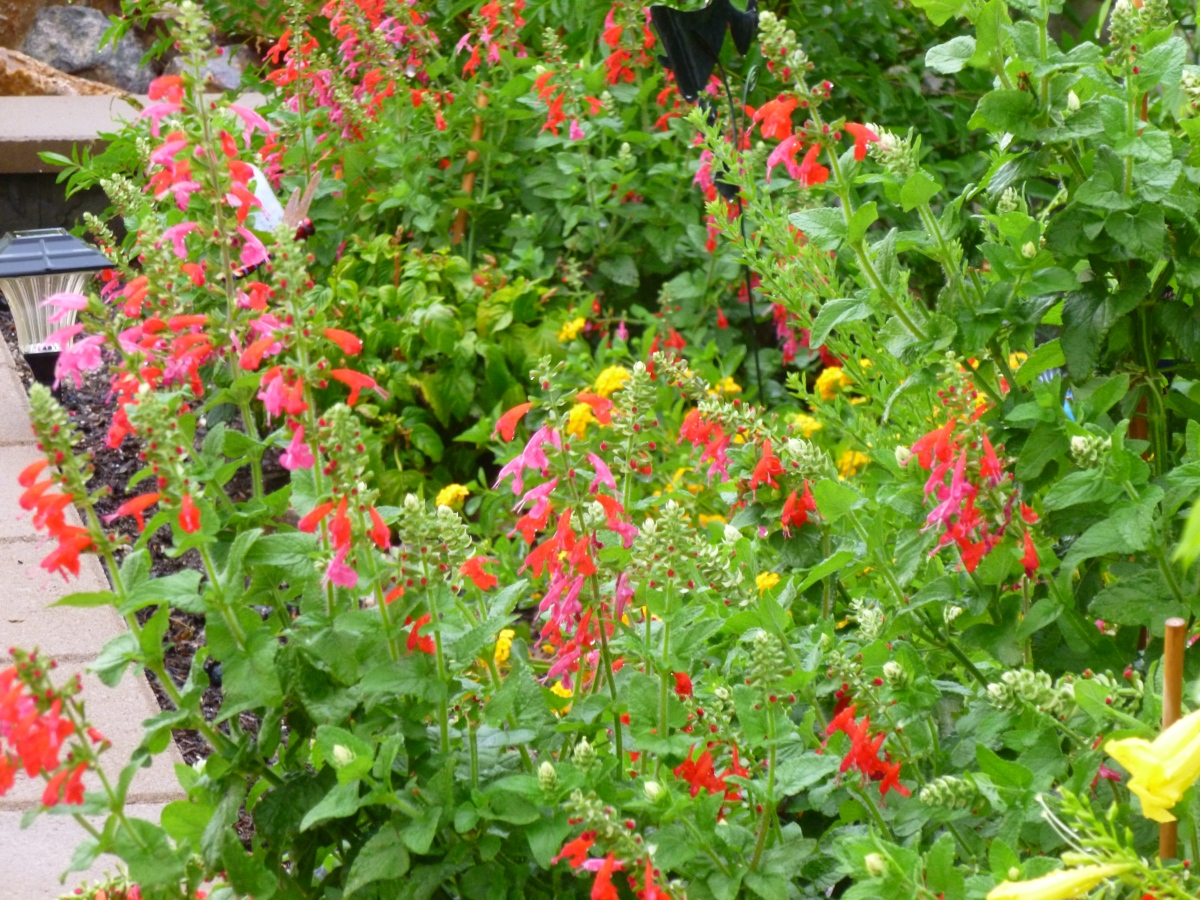 Red Salvia is # 3 – in the top Ten Heat Resistant plants for the Arizona garden