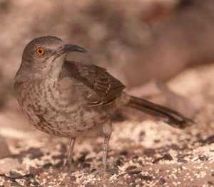 Desert birds of the Southwest