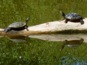 Arizona turtles