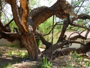 Agua Caliente oldest Mesquite Tree