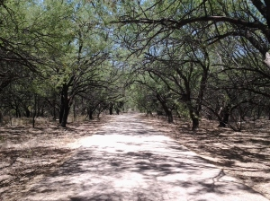 native Velvet Mesquites for shade