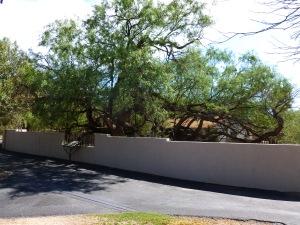 Agua Caliente Mesquite Tree
