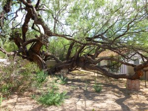 mesquite tree at Agua Caliente in Tucson