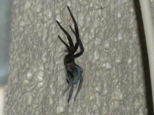 identify black velvety spider in Arizona