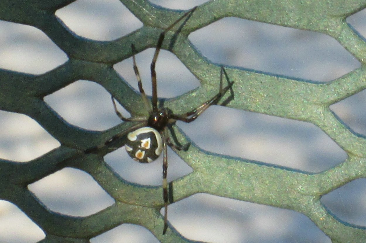 dangerous harmful widow spiders