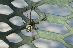 dangerous harmful widow spiders