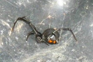 Latrodectus genus of spider, in the family Theridiidae