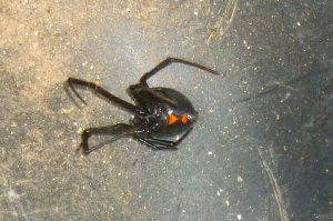 Latrodectus, western widow spider poisonous