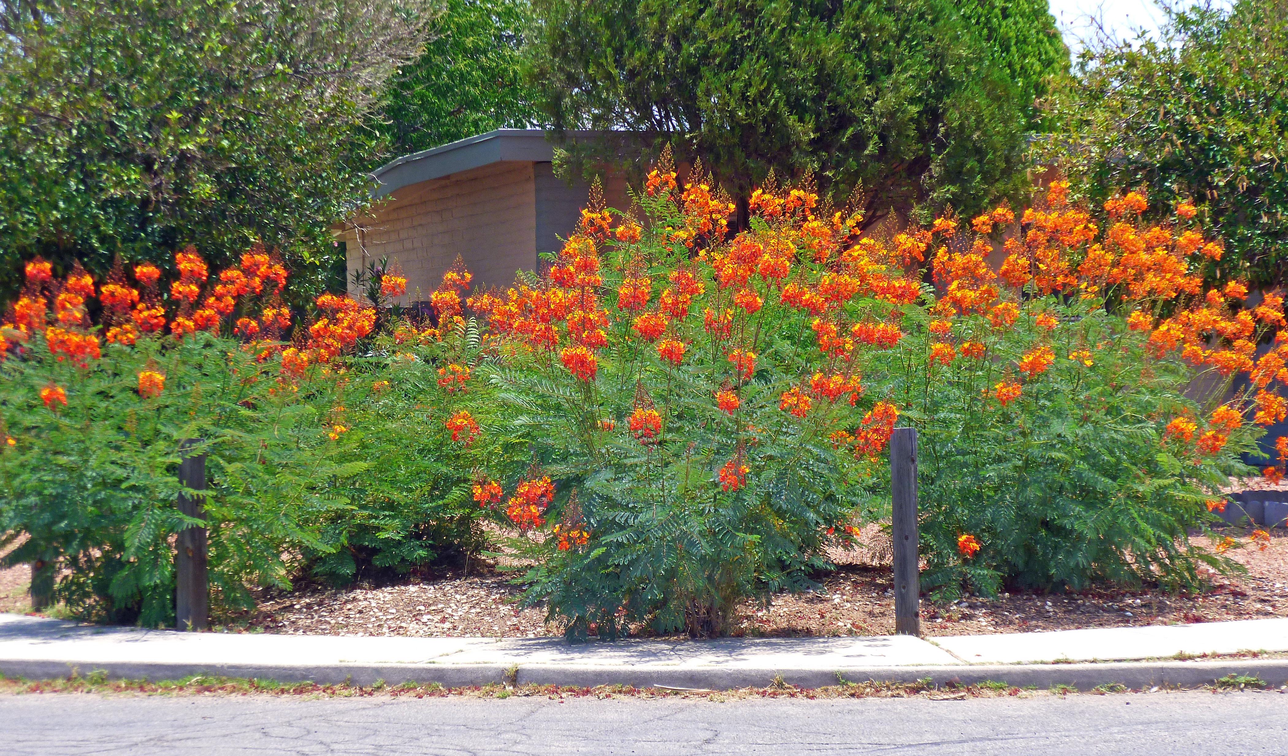 Orange And Yellow Flowers Arizona Tjs Garden