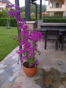 growin Bougainvillea in pots