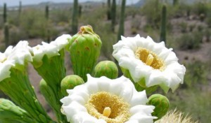 buds on the saguaro cactus
