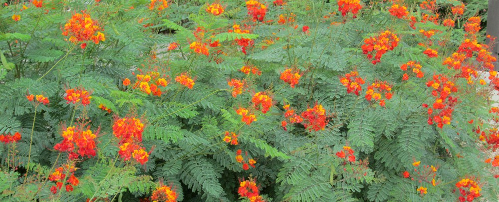 Mexican, Yellow, Red Bird of Paradise plants are poisonous