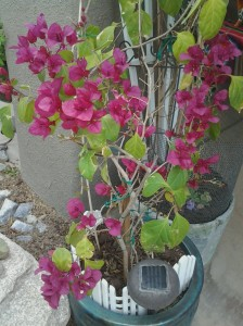 Bougainvillea flowering bush shrub