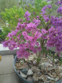 growing bougainvilleas shrubs
