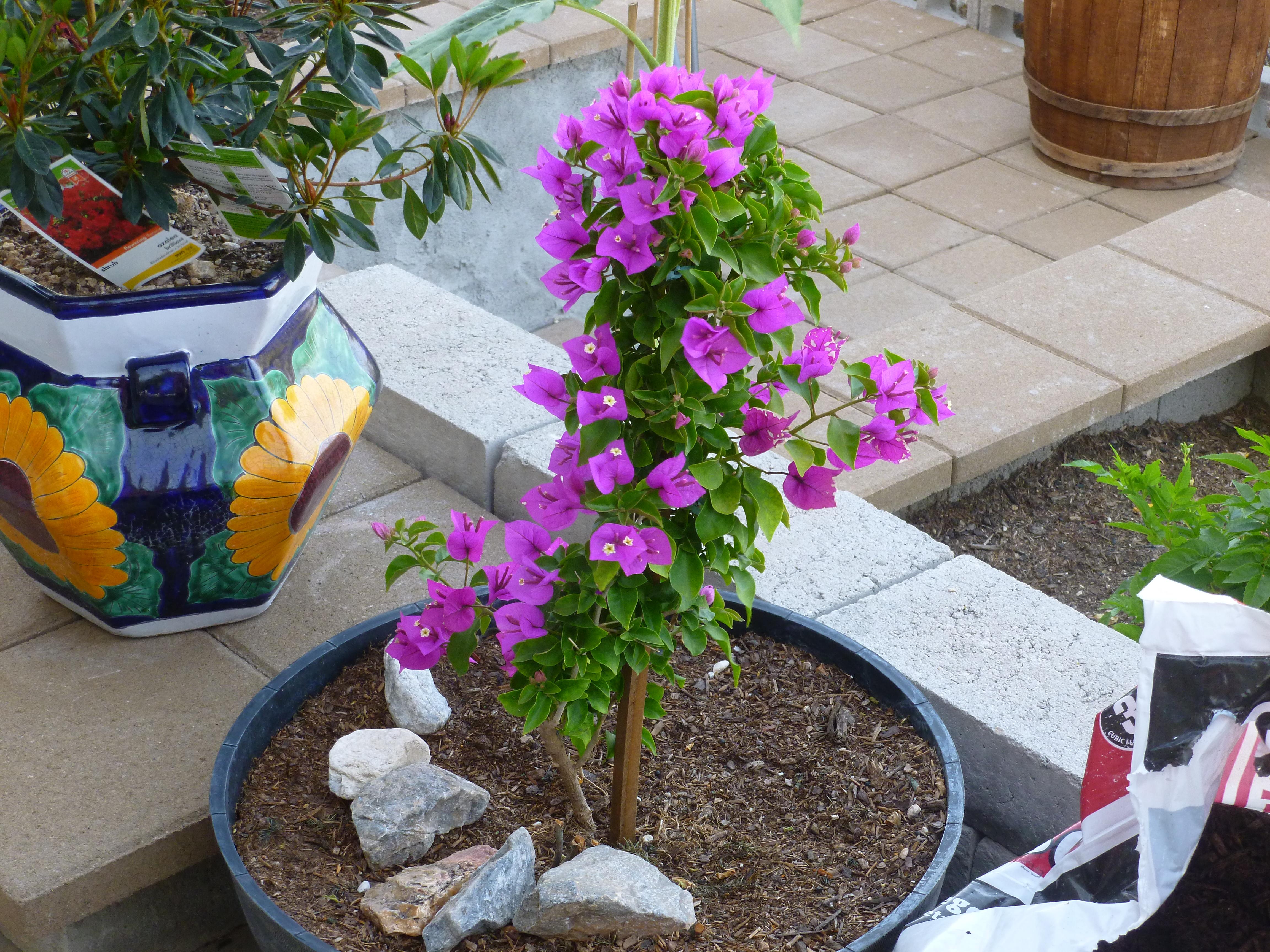 pics for gt white bougainvillea in pots
