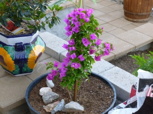 Pink flowers on Bougainvillea plants are leaves