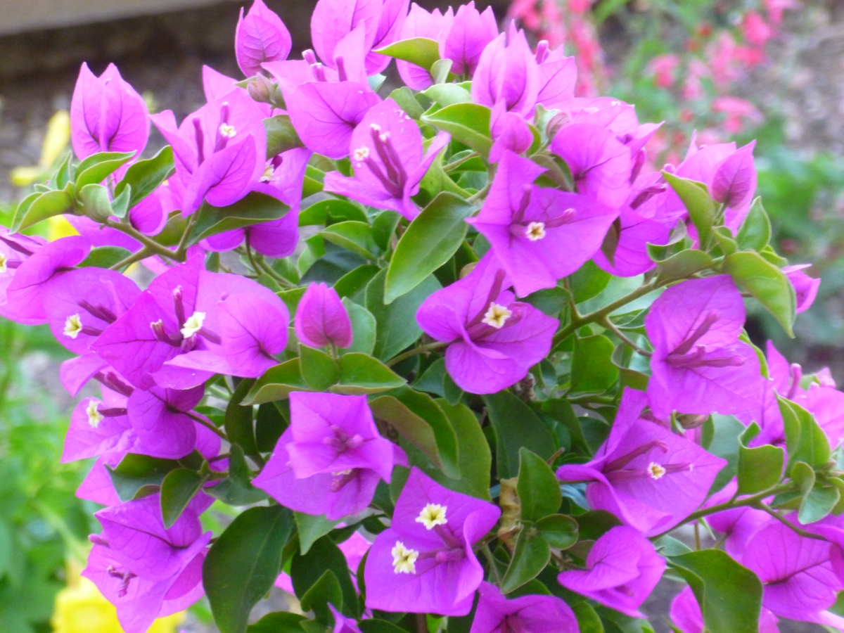 Grow your Bougainvillea Plant in containers and pots. They LOVE IT !!