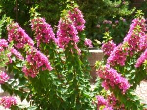 heat resistant plants Bougainvillia magenta blooms