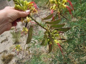 Caesalpinia gilliesii is a drought tolerant desert shrub
