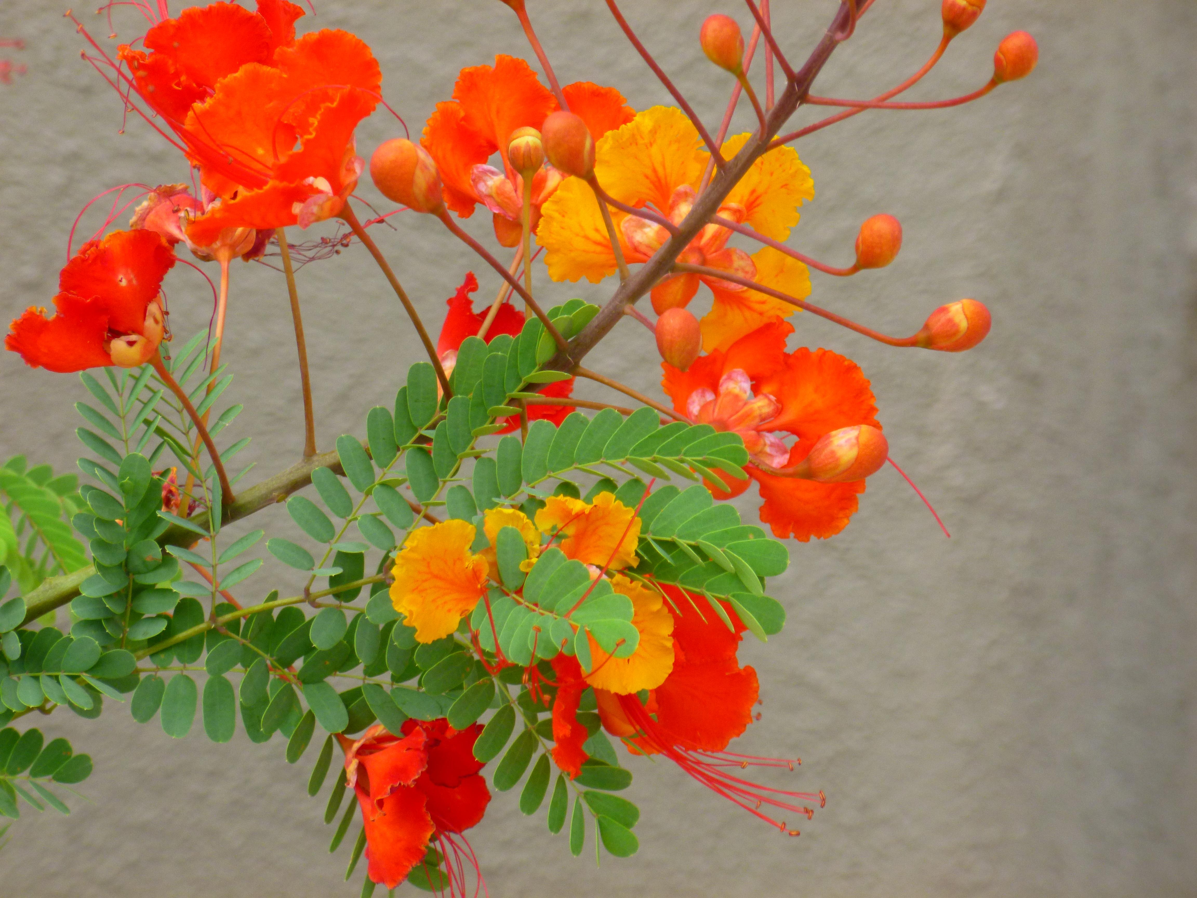 Arizona Bushes With Red Orange Flowers