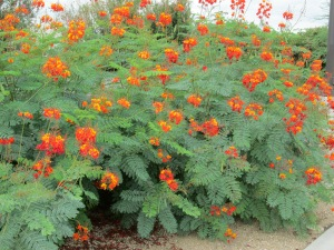 Caesalpinia pulcherrima plant with red flowers fern leaves