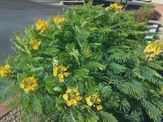 yellow flowering bush heat drought tolerant