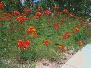 heat tolerant bushes with red flowers