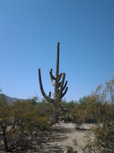 Saguaro cactus plant in Arizona