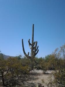 Saguaro cactus plant in Arizona