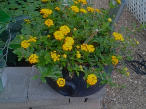 the best lantana heat resistant