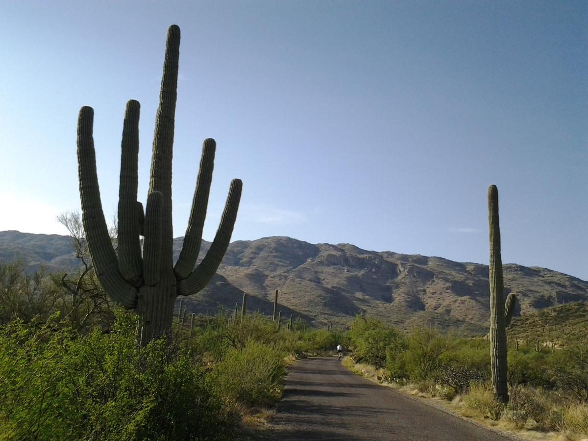 Giant Saguaro desert cactus – facts and photos