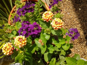 verbena mixed with lantana