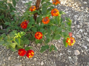 Red flowering bush lantana